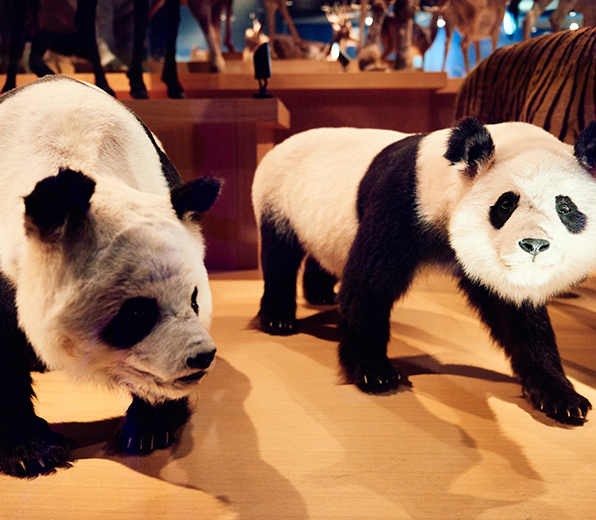 Fei Fei (father) and Tong Tong (daughter), giant pandas that once lived at the Ueno Zoo