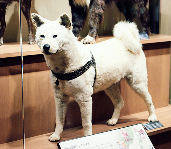"An Akita (hachi) breed dog on display in an exhibit ""The Organisms Bred by the Japanese"" on the second floor, the north wing of the Japan Gallery at the National Museum of Nature and Science"