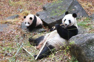 ジャイアントパンダ「リーリー&シンシン」来園7周年記念シンポジウム 「上野動物園の限りない挑戦」
